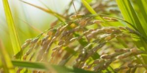 無農薬無化学肥料米